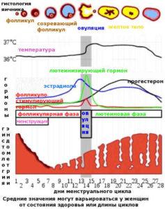 Эндометрий по фазам цикла